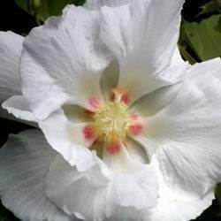 Гибискус краснолистный (кислый): выращивание и особенности