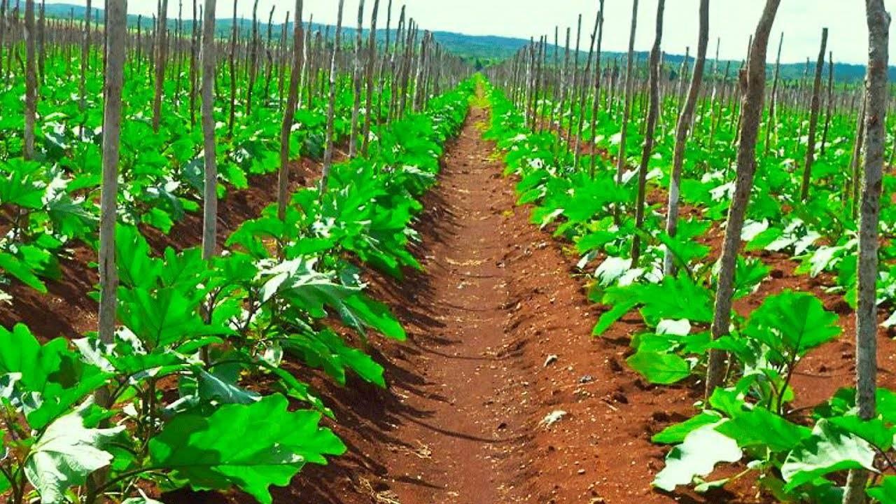 Выращивание рассады баклажан. посев семян