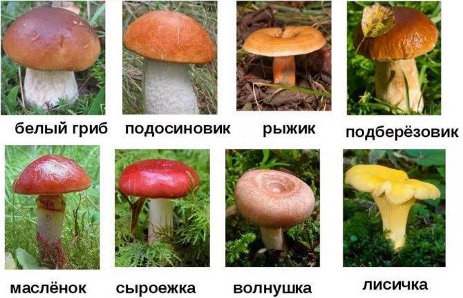 Паразитический гриб трутовик: описание, виды и места произрастания