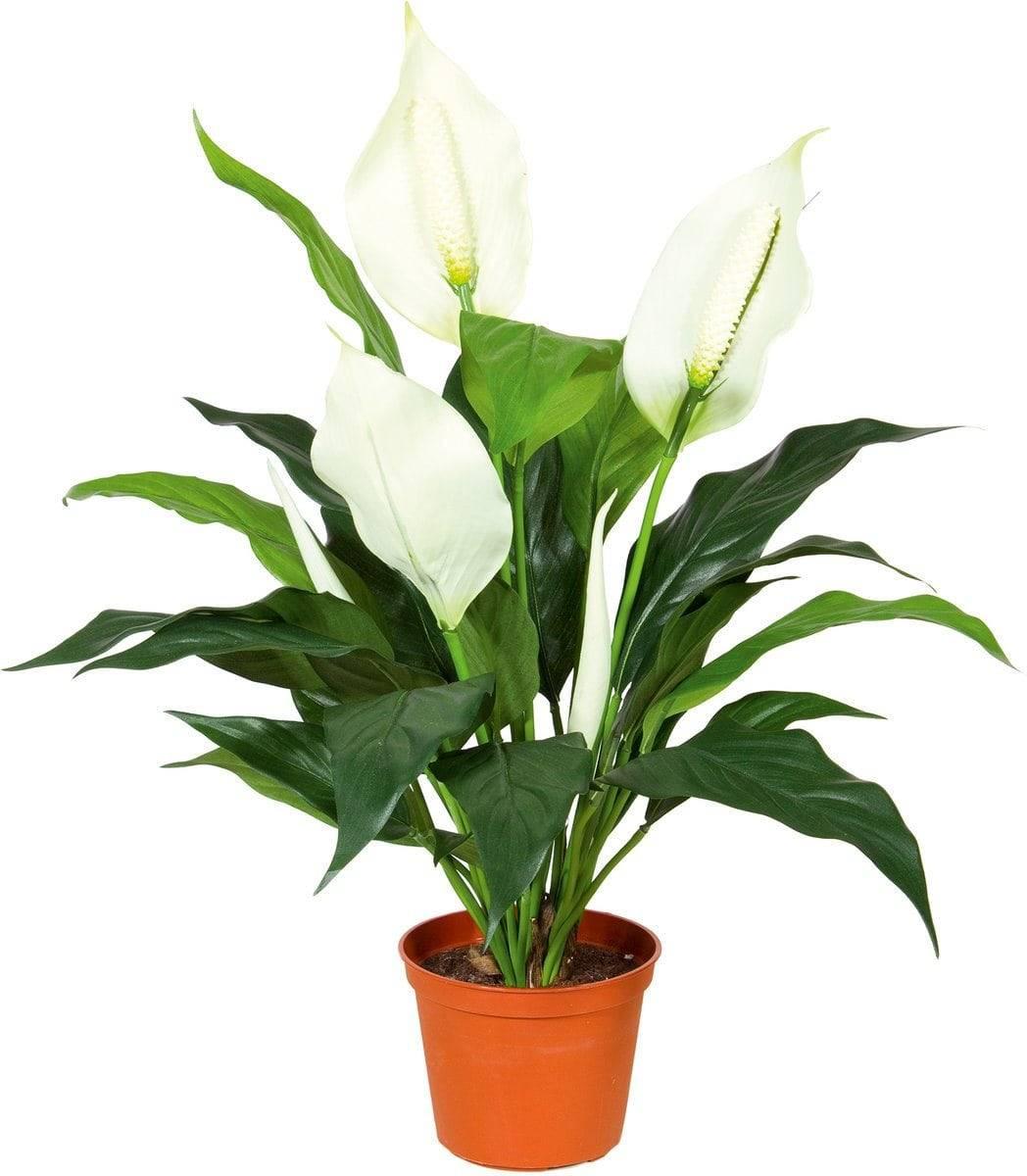 Спатифиллум (spathiphyllum) – уход, фото, виды