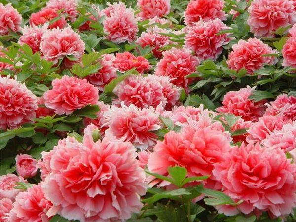 В каком месяце цветут пионы и что делать, если не цветут
