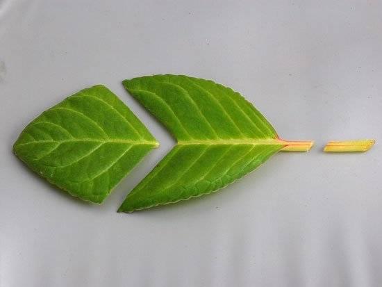 Все о том, как размножить глоксинию: подробные алгоритмы всех способов