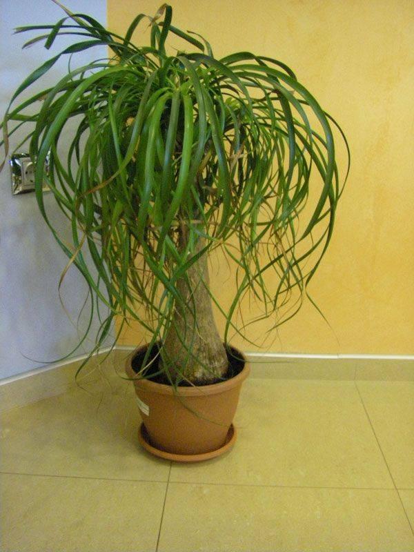 Бокарнея — пошаговое описание в домашних условиях и выращивание цветка в домашних условиях (95 фото и видео)