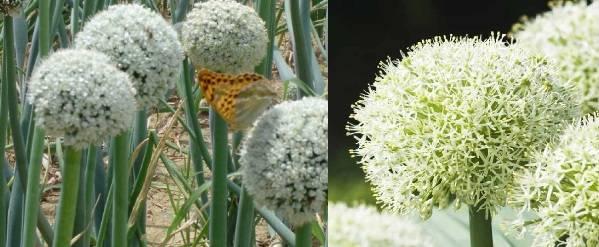 Аллиум посадка и уход в открытом грунте размножение семенами