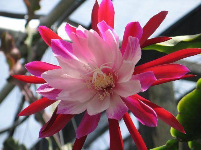 Почему не цветёт эпифиллум, уход в домашних условиях, размножение