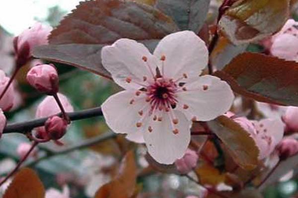 Слива растопыренная краснолистная — изящное украшение сада