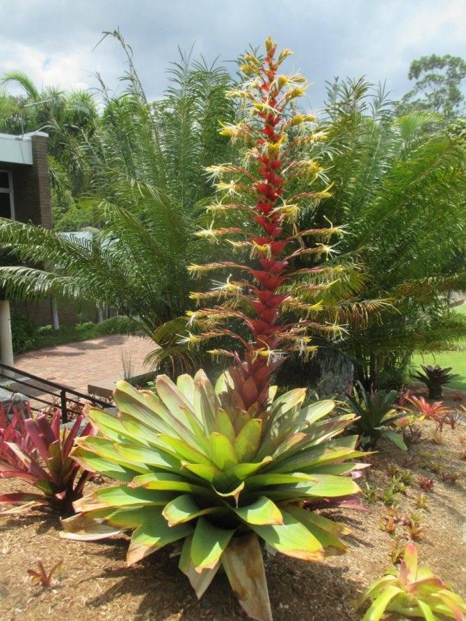 Растение традесканция сеткреазия пурпурная, уход в домашних условиях