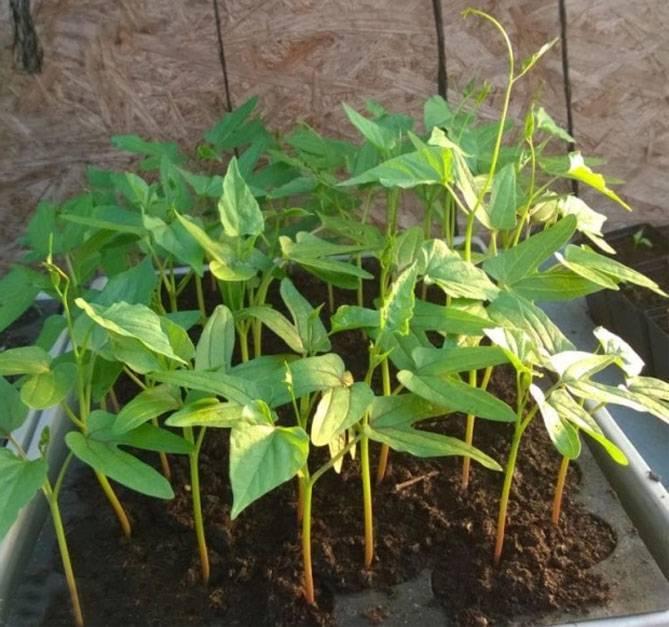 Выращиваем многоликую ипомею у себя на даче