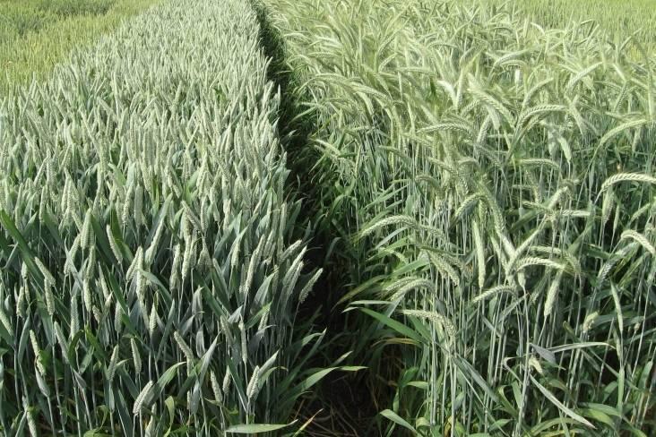 Тритикале гибрид ржи и пшеницы — когда сеять, применение, видео
