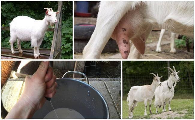 Обзор популярных заболеваний взрослых коз и молодняка