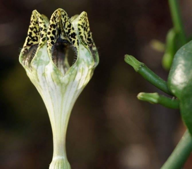 Филодендрон селло: описание, особенности ухода и размножения