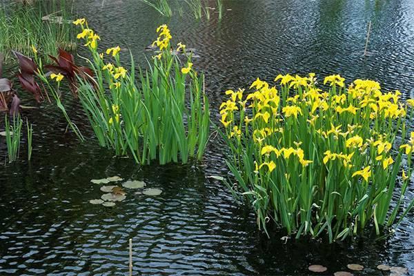 Украшение дачного водоема — ирис болотный