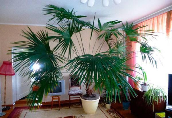 Уход за нематантусом в домашних условиях: посадка, полив и освещение