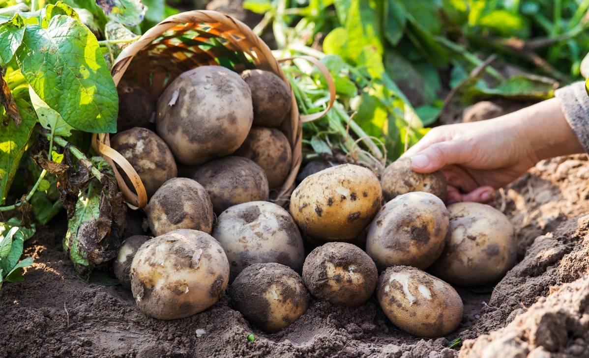 Вредители и болезни картофеля: фото, описание и лечение заболеваний