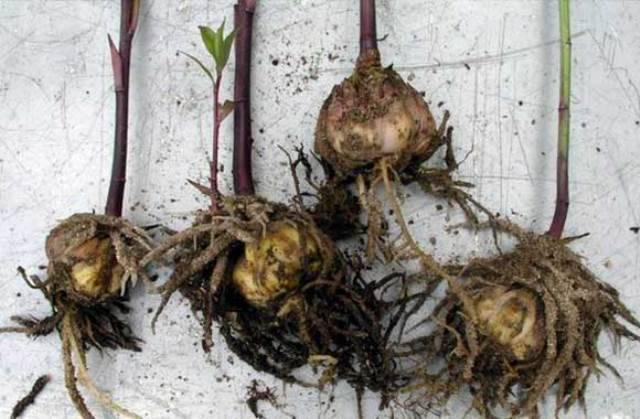 Как купить хорошие луковицы лилий и сохранить их до посадки?
