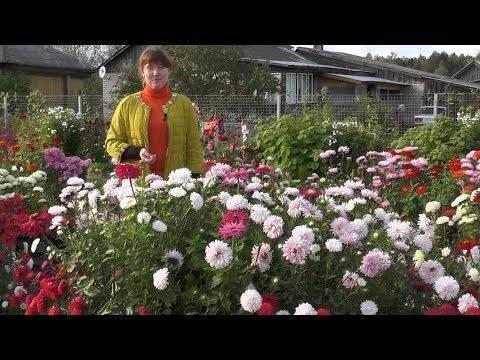 Выращивание астры из семян в домашних условиях