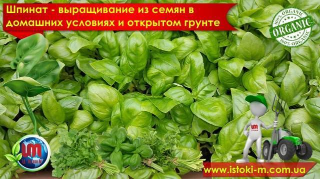 Как вырастить шпинат в открытом грунте: посадка семян и уход за зеленью