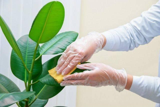 Липкий налет на листьях комнатных растений: причины и борьба