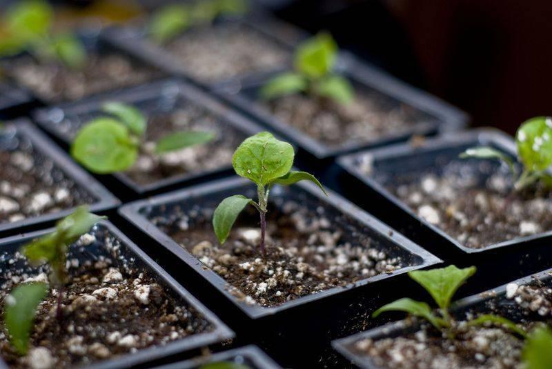 Как вырастить рассаду физалиса домашних условиях