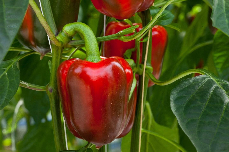 Выращивание перца в открытом грунте и теплице
