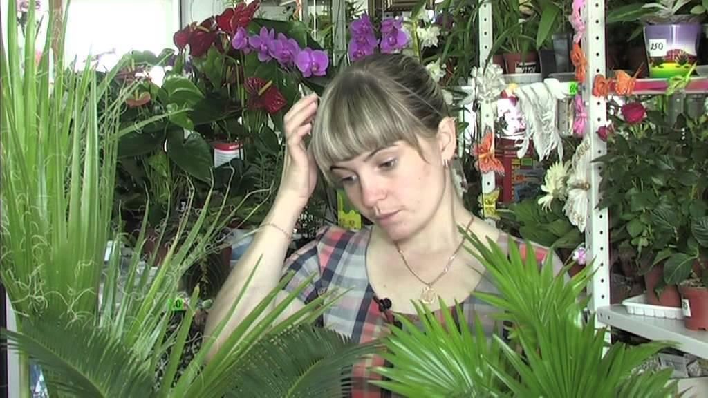Экзотическая финиковая пальма дома: как посадить растение и ухаживать за ним в комнатных условиях?