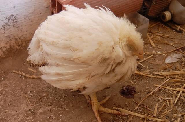 Кокцидиоз у цыплят