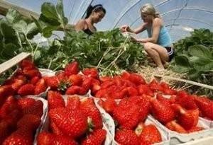 Выращиваем клубнику по голландской технологии круглый год: самые актуальные способы