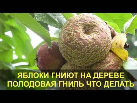 Почему яблоки (или груши) гниют прямо на дереве (это монилиоз): причины и что делать