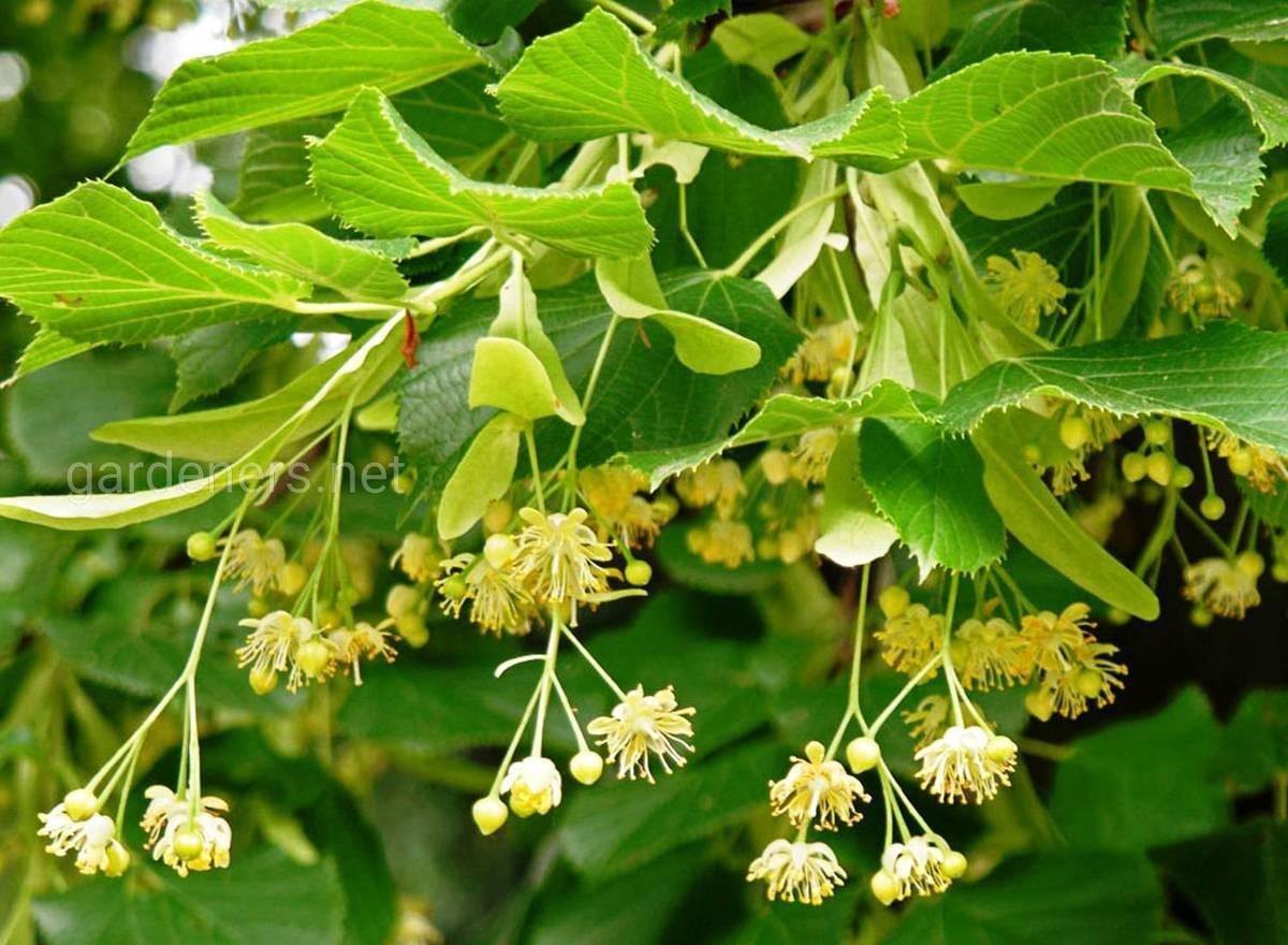 Самые красивые деревья для сада. обзор лучших садовых деревьев