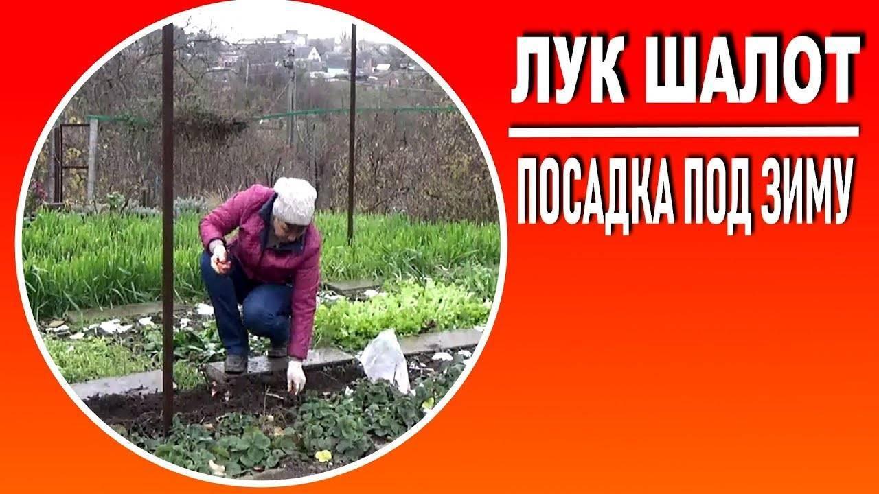Выращиваем лук шалот из семян и маточных луковичек