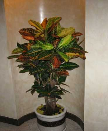 Почему у кротона (кодиеума) сохнут и опадают листья? симптомы заболеваний, вредители