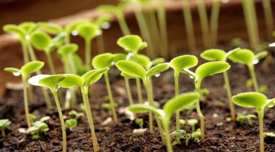 Выращивание мелиссы на дачном участке: правила посадки, бережный уход