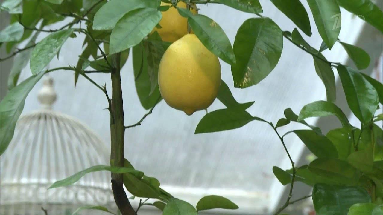 Как вырастить лимон из косточки в домашних условиях с плодами: пошагово