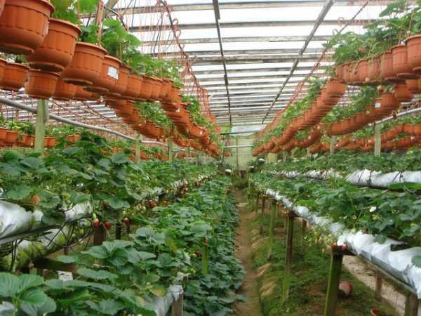 Правильный уход за клубникой для получения большого урожая