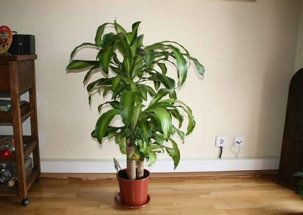 Особенности размножения и ухода за драценой в домашних условиях, фото комнатного цветка