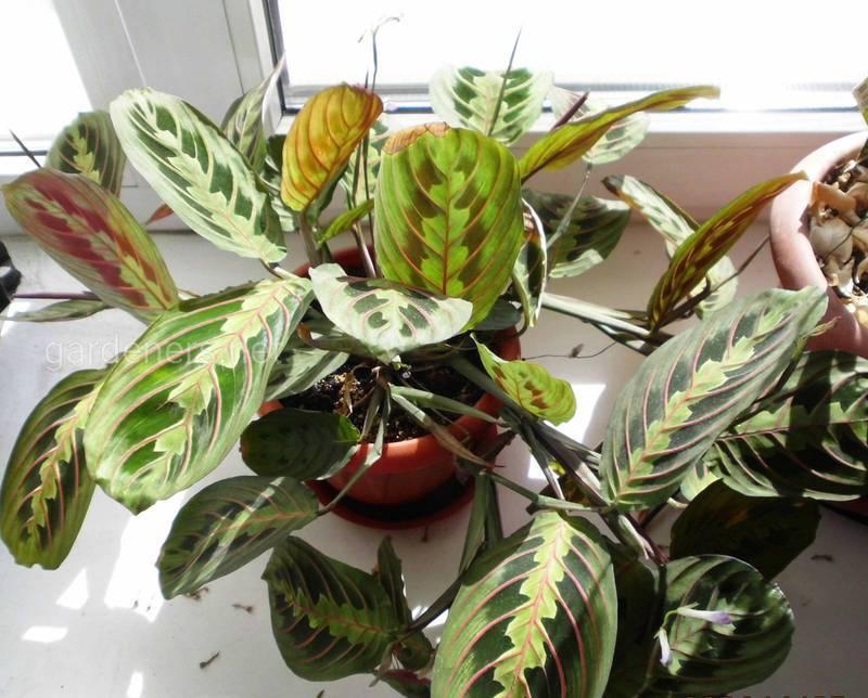 Особенности ухода за марантой трехцветной (триколор) или молитвенным растением
