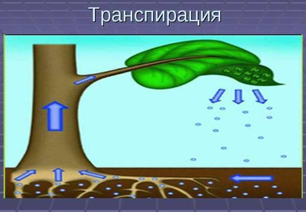 Транспирация у растений - суточный ход, интенсивность, видео