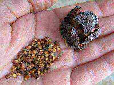 Выращивание кохии (летнего кипариса) из семян, уход в открытом грунте. ландшафтное чудо — летний кипарис или кохия. выращиваем из семян