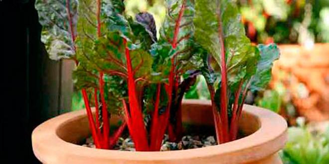 Выращивание и уход за мангольдом на дачных грядках