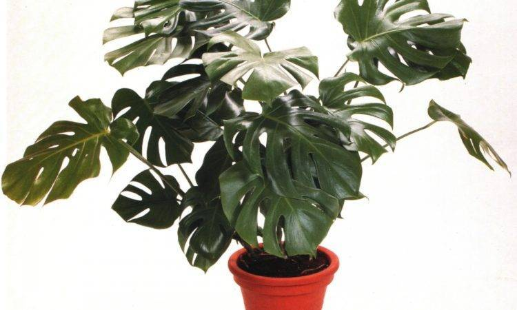 Вечнозеленая лиана монстера: уход в домашних условиях за крупным эффектным растением с оригинальными насыщенно — зелеными листьями