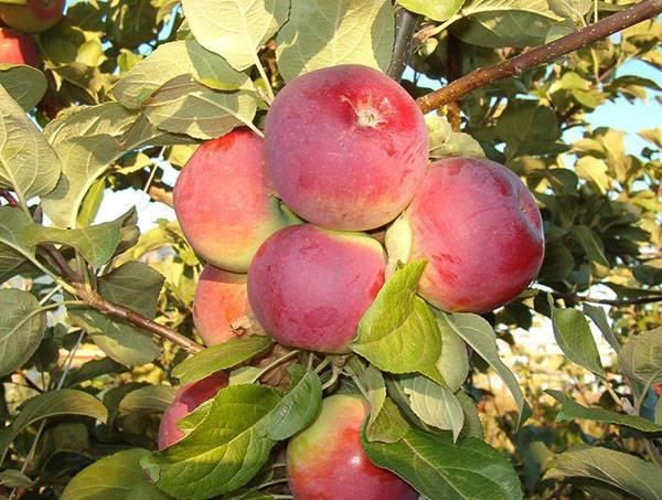 Скороспелая яблоня Орлик в вашем саду