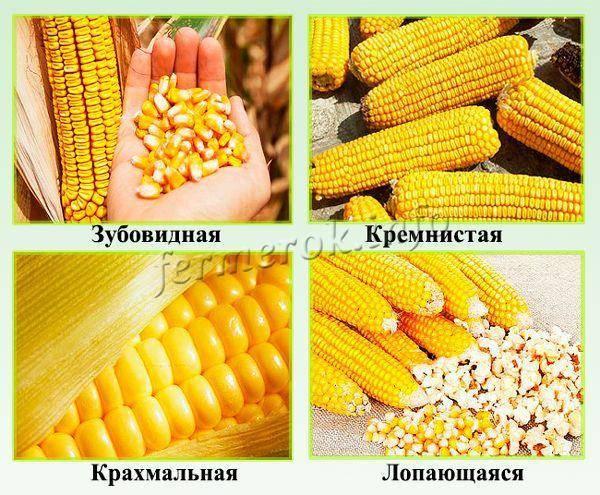 Как замочить кукурузу для посадки и вырастить из готовых семян богатый урожай