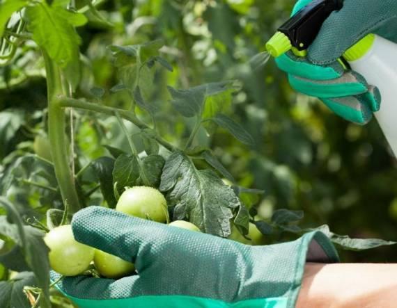 Применение борной кислоты в садоводстве: внекорневая подкормка бором томатов, огурцов, клубники и других растений