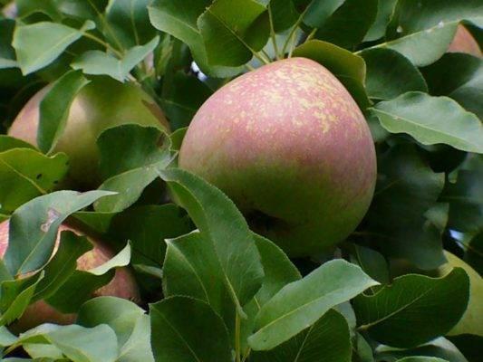 Выращиваем правильно грушу просто мария