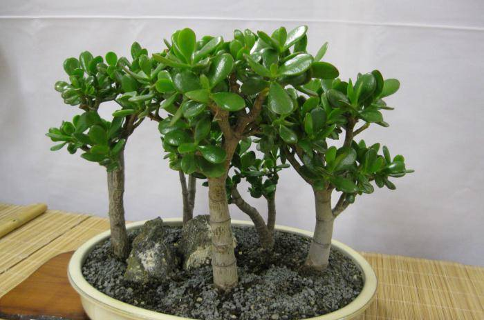 Почему у толстянки осыпаются листья и отваливаются ветки? как спасти денежное дерево от болезней и вредителей?