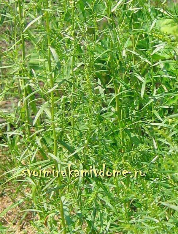 Трава тархун (эстрагон) полезные свойства, применение