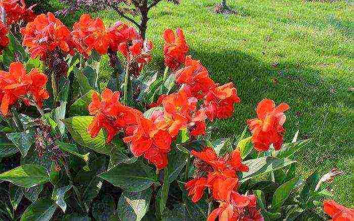Цветы канны — изящество и роскошь с минимальными затратами