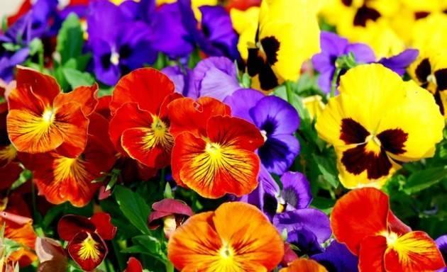 Виола ампельная: выращивание из семян