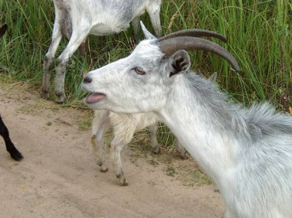 Симптомы болезней коз и их лечение в домашних условиях
