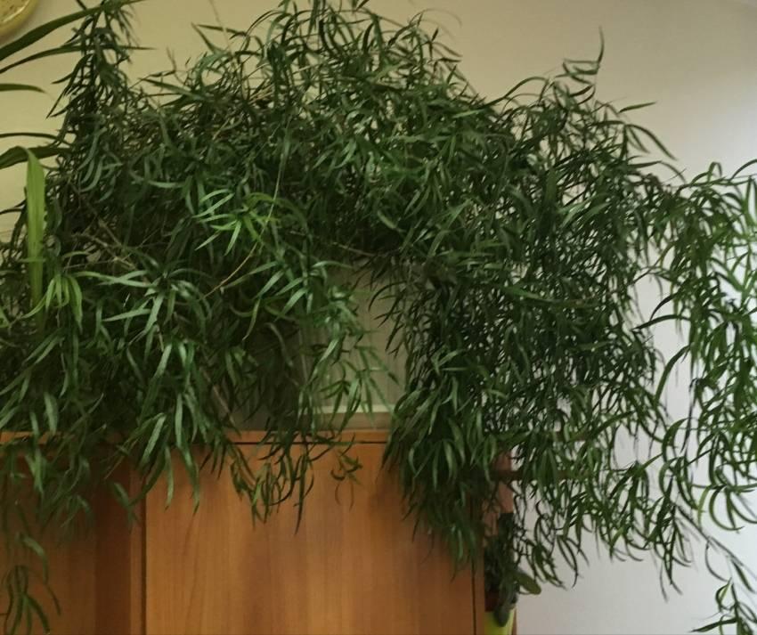 Выращивание аспарагуса серповидного, описание цветка, уход